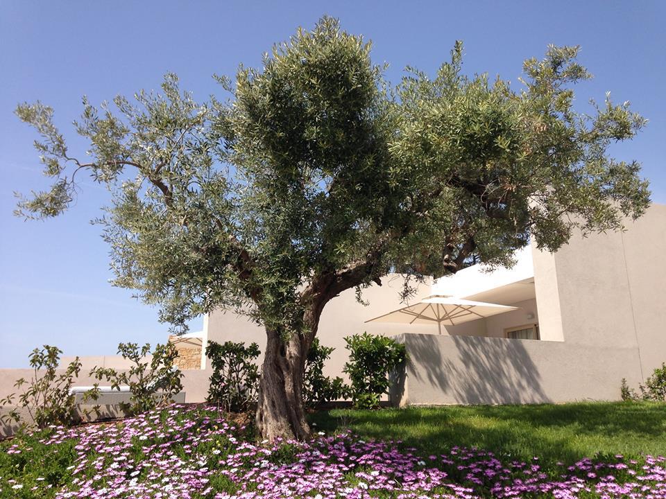 Olive tree at Ikos Olivia